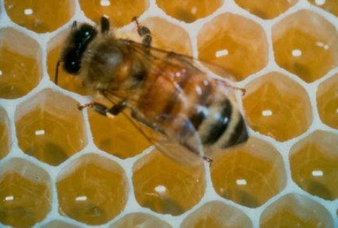 Miele contaminato in Alsazia