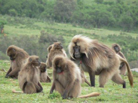 Ridere è contagioso anche tra i babbuini