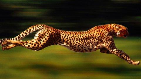 Le macchie del ghepardo