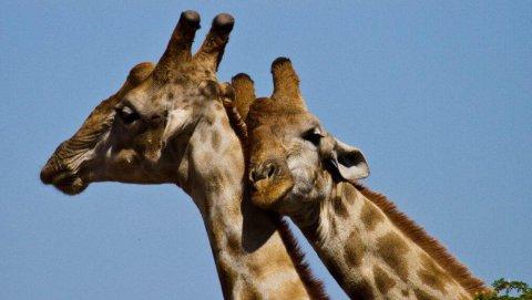 La società delle giraffe