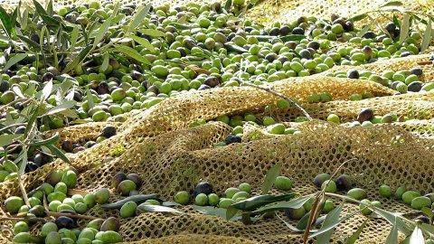 Olio d'oliva sempre più caro, cisterne scortate come portavalori!