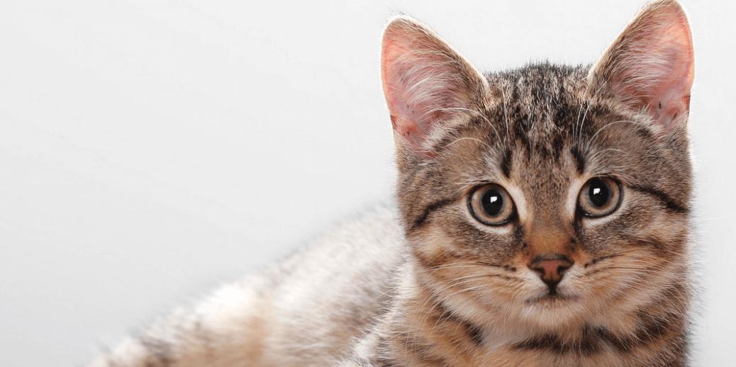 Problemi-di-stagione-come-proteggere-un-gatto-dalle-pulci.png