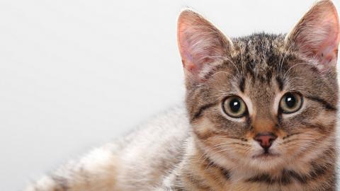 Problemi di stagione: come proteggere un gatto dalle pulci?
