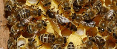 Api regine e api operaie