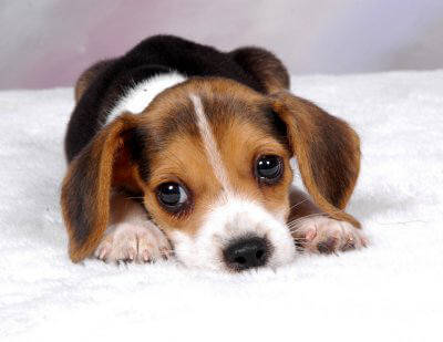 beagles5.jpg