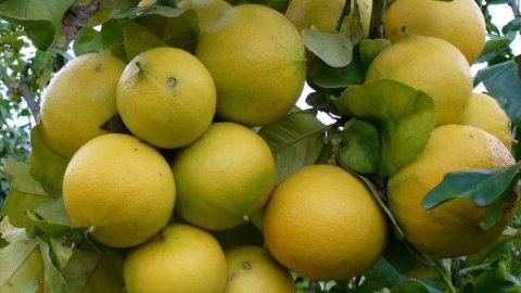 Aromaterapia: Bergamotto