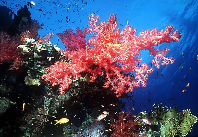 coralli.jpg