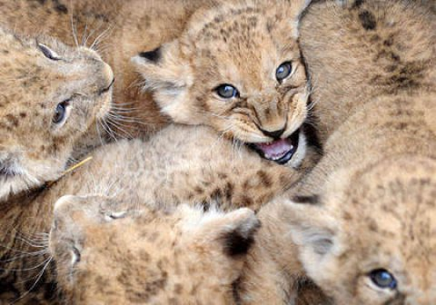 Leonessa partorisce 8 cuccioli