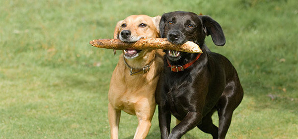 dogs-playing.jpg