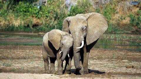 Gli elefanti sono animali sensibili: consolano i compagni e si riconoscono allo specchio