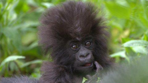 Baby gorilla naming ceremony