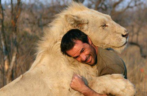 Leoni africani accettano l'uomo come uno di loro