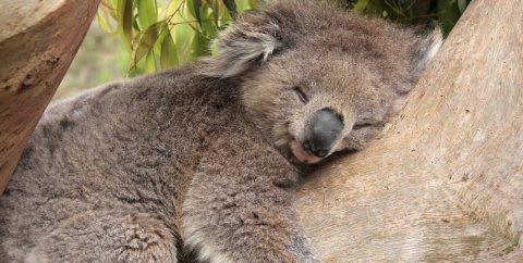 Koala in via d'estinzione