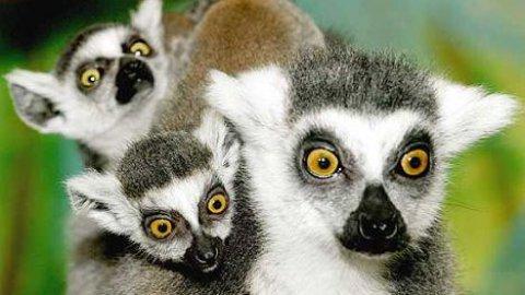 Allarme lemuri