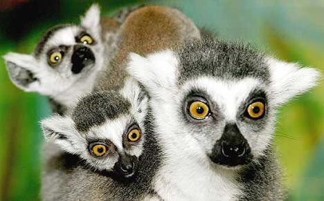 lemuri1.jpg